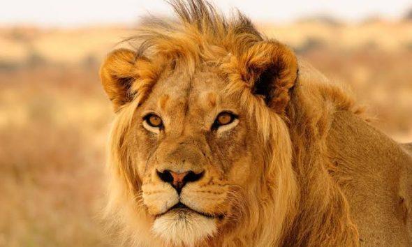 Kano zoo lion